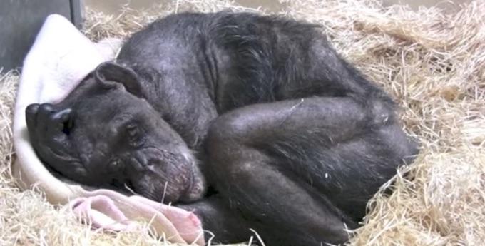 Sterbende Schimpansin sieht alten Freund ein letztes Mal.
