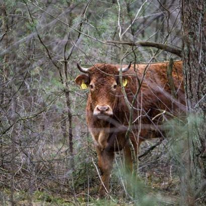 Kuh flieht vor Schlachter, lebt 2 Monate im Wald.