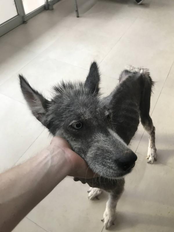 Husky ist 8 Monate nach der Rettung nicht wiederzuerkennen.