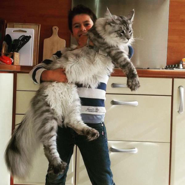 Diese Hauskatze WIEGT 15 KILO und ist 125 CM LANG… Was für ein wunderschönes Tier! Schauen Sie sich das Video an