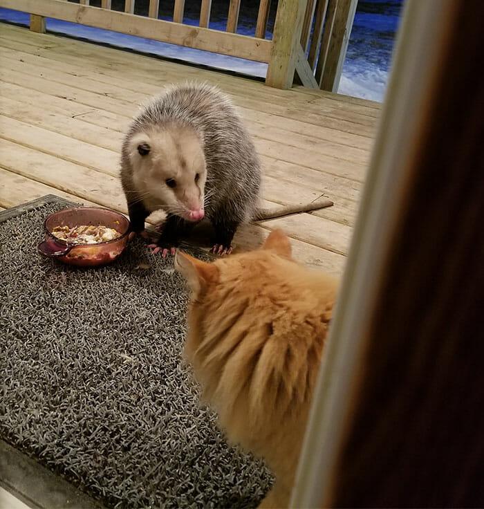 Opossum stibitzt einer Katze ihr Futter – sehen Sie die Reaktion der Bestohlenen