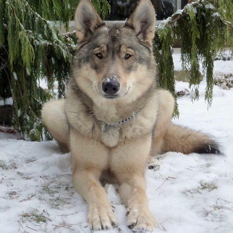 Schicke Wölfe erfreuen die ganze Welt!