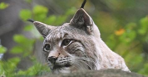 Umgestürtzte Bäume zerstören Luchs Gehege in Nationalpark – ein Tier tot aufgefunden