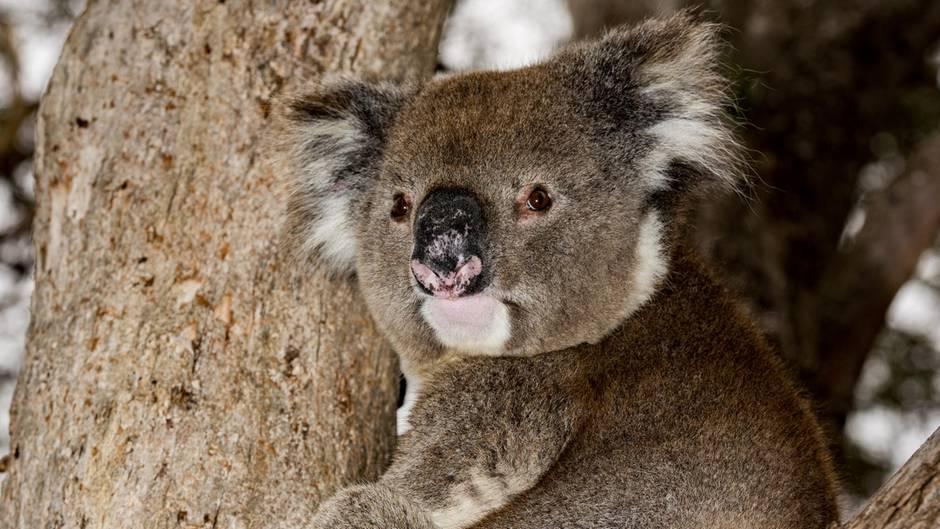 Nach Buschbränden in Australien: Koala-Population in einigen Teilen um 85 Prozent geschrumpft