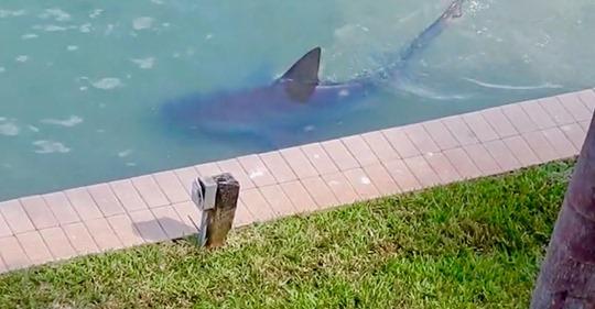 Großer Bullenhai wird im Garten eines Wohnheims gesichtet