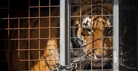 USA: Hier leben mehr Tiger in Gefangenschaft, als weltweit in freier Wildbahn