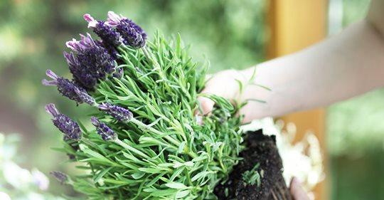 Lavendel: Wann pflanzen, wie pflegen?