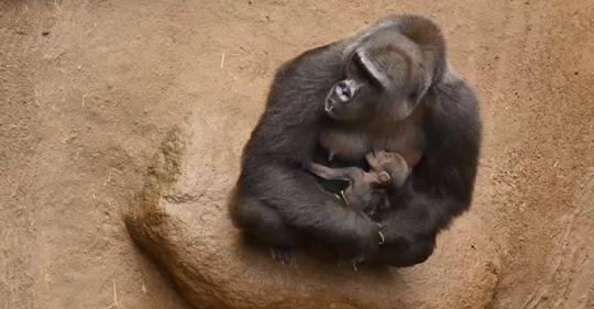 Sorge um drei Wochen altes Gorilla-Baby: Tierpfleger fürchten Ansteckung mit Coronavirus