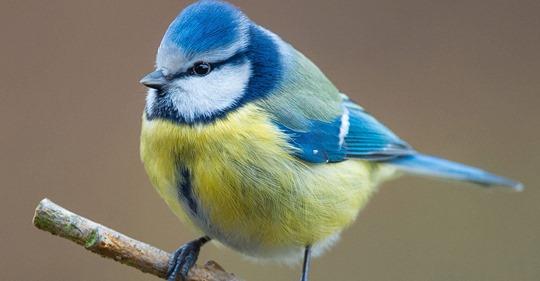 Mysteriöse Krankheit tötet heimische Blaumeisen: Bitte tote Vögel melden