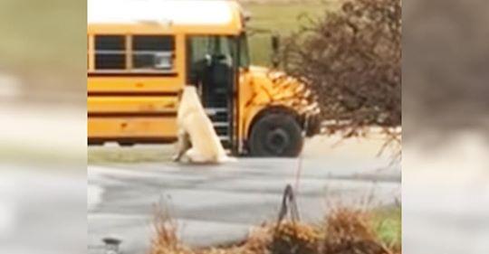 Ein riesiger Hund wartet jeden Morgen, um sicherzustellen, dass die Kinder seiner Besitzerin sicher in den Schulbus steigen