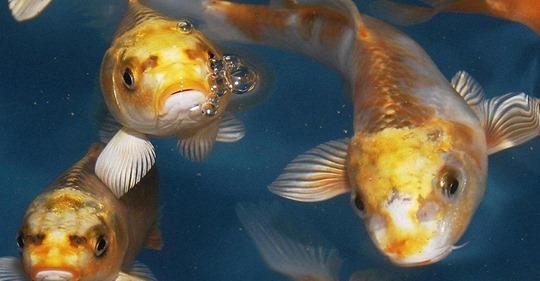 Unbekannte vergiften Koi-Teich - Fische im Wert von 10.000 Euro gestorben