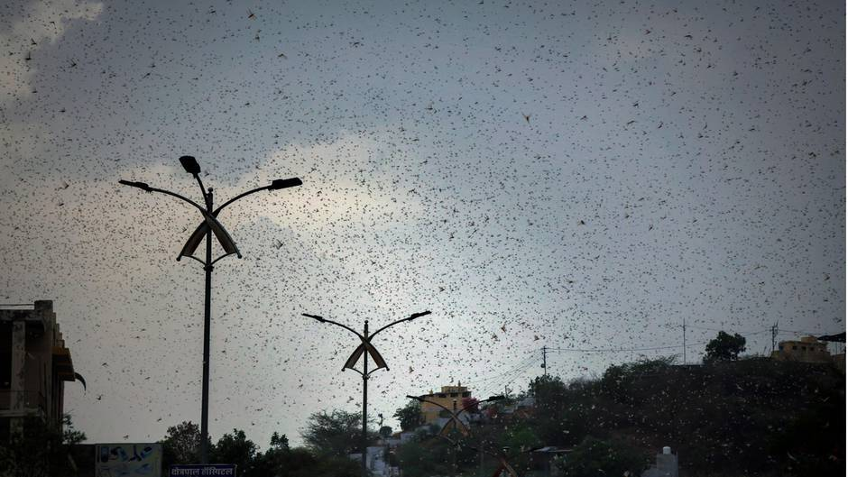 Not in Indien: Riesige Heuschreckenschwärme bedrohen Ernte