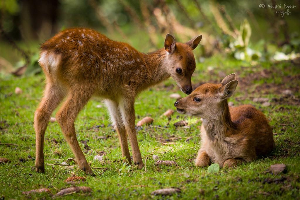Tausende kleine Rehkitze jährlich von Mähdreschern zerhexelt: Wildtierhilfe schlägt Alarm