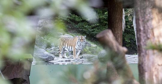Nach tödlichem Zwischenfall: Zoo Zürich erklärt, wie es für Tigerdame Irina weitergeht