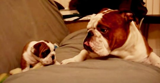 Vater Bulldogge erblickt zum ersten Mal seine neugeborene Tochter und das Treffen verläuft goldig