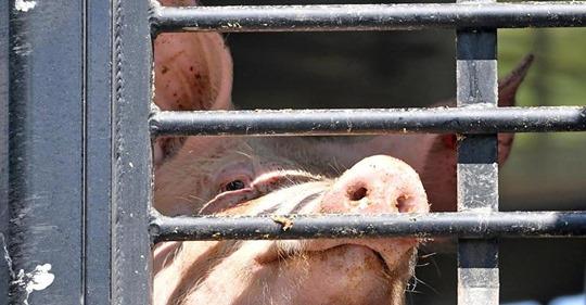 Ob sich so ein armes Schwein manchmal wünscht, zu sterben?