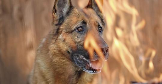 Tierische Heldin Adoptierte Hündin rettet Nachbarsfamilie vor Feuerhölle