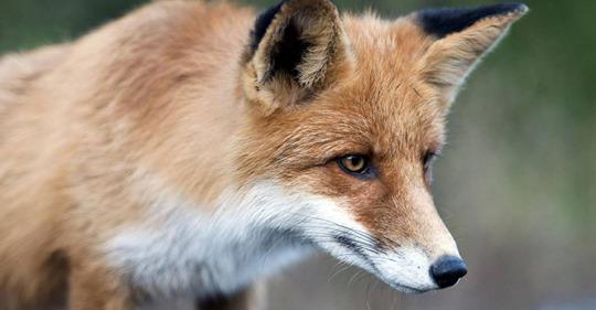 Fuchs stiehlt mehr als 100 Schuhe – bis ihn ein Geschädigter in flagranti erwischt
