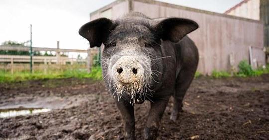 180 Kilo schwerSchwein Bobby flüchtet dreimal vor Schlachter   und macht jetzt Karriere auf Instagram
