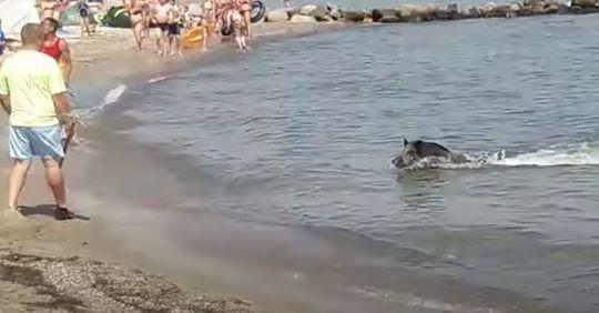 Ungewöhnlicher Überraschungsgast Wildschwein schwimmt durch Ostsee und mischt Badestrand auf