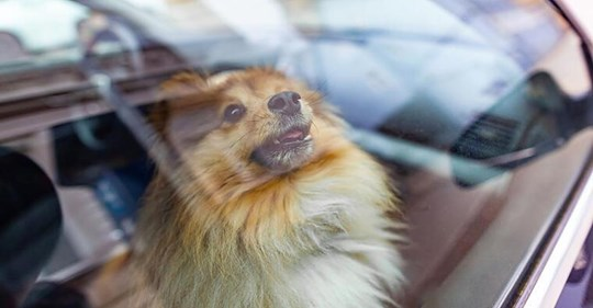 Hund bei über 30 Grad im Auto gelassen - Besitzerin  völlig uneinsichtig
