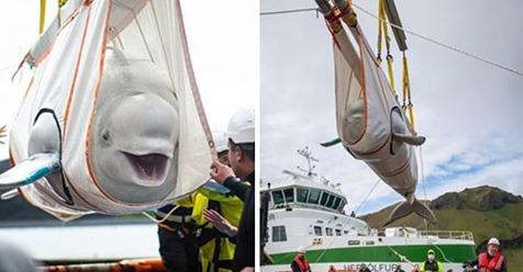 Zwei weiße Belugawale lächeln, während Tierschützer sie aus Gefangenschaft befreien