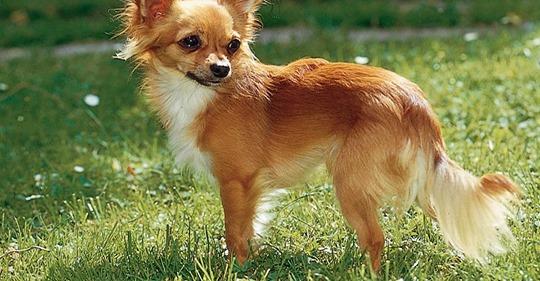 Veteran erleidet Schlaganfall - sein Chihuahua rettet ihm das Leben