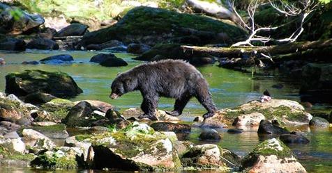 Auf US Campingplatz: Schwarzbär hat vermutlich einen 43 jährigen Wanderer gefressen