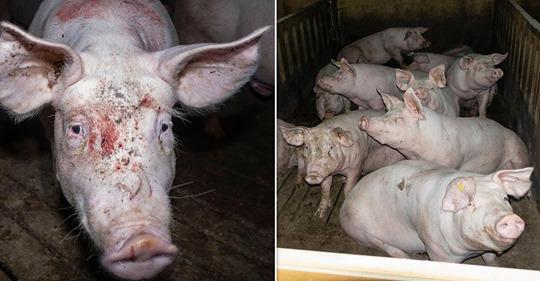 Größte Schweinemast Niedersachsens: Videoaufnahmen belegen massive Tierschutzverstöße