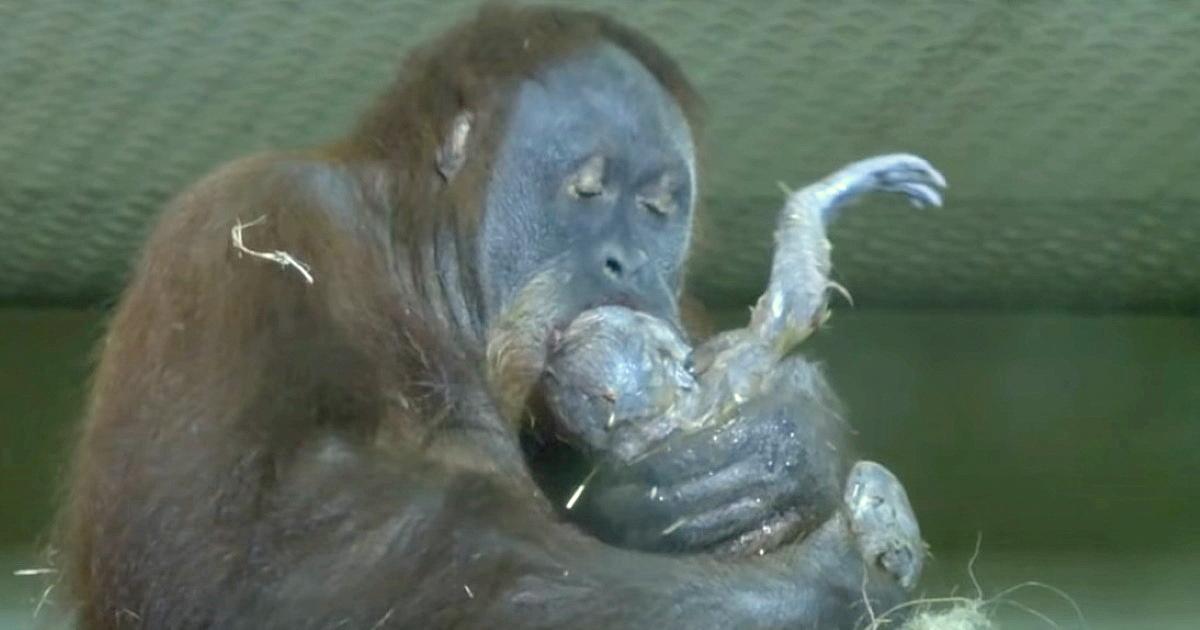 Orang-Utan Weibchen, von der man dachte, sie sei unfruchtbar, gebärt Kind – erste Fotos veröffentlicht