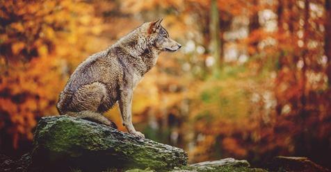 Immer mehr Wolfsrudel in Deutschland: Jäger sehen Handlungsbedarf