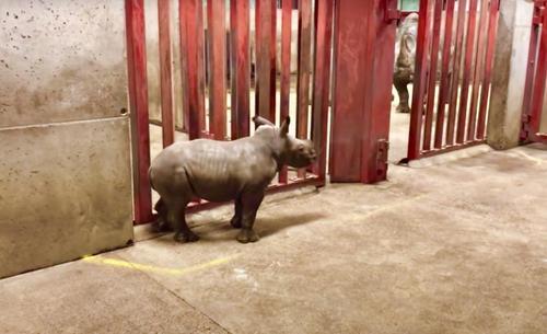 Ein kleines Nashorn hat eine wunderbare Zeit, als es mit dem Zoowärter spielt