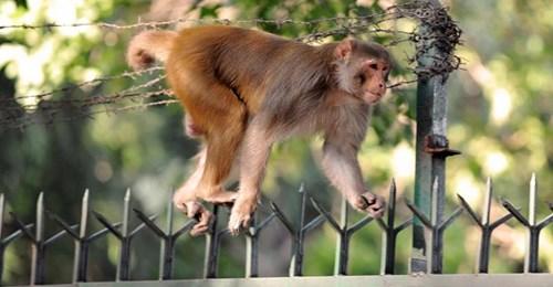 Tobende Affen jagen 13-Jährige in Indien - bei der Flucht stürzt sie in den Tod