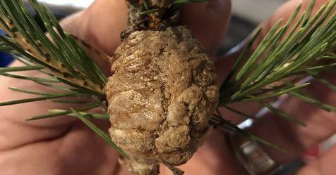 Spinnen, Zecken und Co. Dein Weihnachtsbaum holt 25.000 Insekten ins Haus
