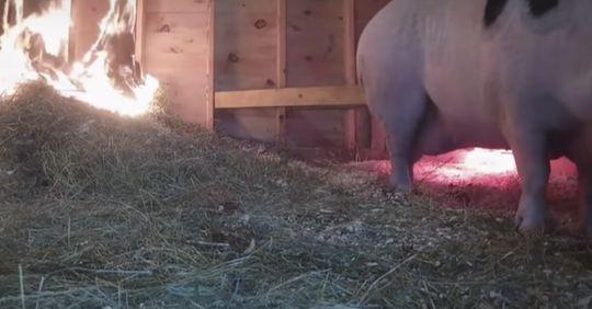 Kuriose Internet Idee eines Bauern Mittels Live Stream: Frau rettet schwangeres Schwein vor dem Feuertod