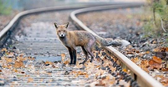 Jäger erschießt Fuchs nach Tollwut Verdacht   Veterinäramt entdeckt für Hunde tödliches Virus