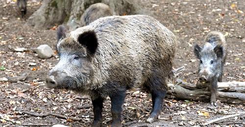Durch Corona Pandemie: Wildschweine verlassen Wälder und erobern Städte