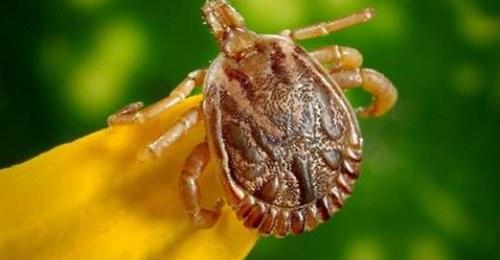 Hyalomma Zecke Überträgt gefährliche Krankheiten: Daran erkennst du den Blutsauger