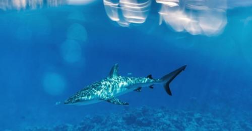 Hai-Attacke in Neukaledonien: Schwimmer erleidet Herzinfarkt und stirbt