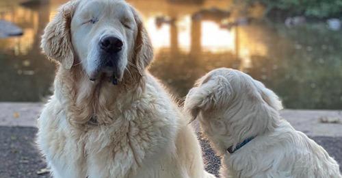 Unschlagbares Duo Welpe hilft blindem Hunde-Opa zurück ins Leben