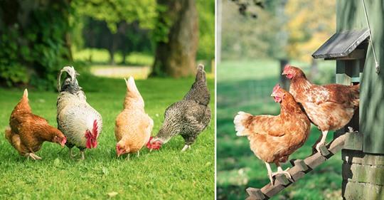 Hühnerhaltung im Garten: Tipps zur Fütterung und Pflege