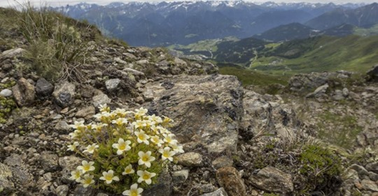 Wenn Gletscher schmelzen, sterben seltene Alpenpflanzen aus