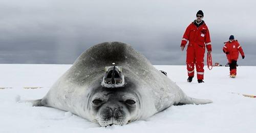 WISSENSCHAFTSTEAM ARBEITET MIT ROBBEN Wir sind die süßesten Forscher der Antarktis Klimauntersuchungen im Polarmeer