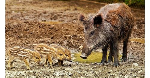 Wildschwein Angriff abwehren & richtiges Verhalten: Was tun?
