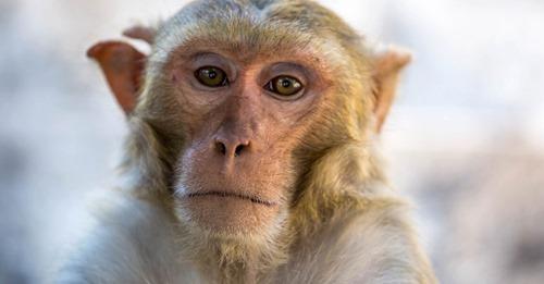 """""""Müssen anfangen, über diese Möglichkeit nachzudenken""""Mischwesen für die Forschung: Wissenschaftler erzeugen Mensch Affe Embryonen"""