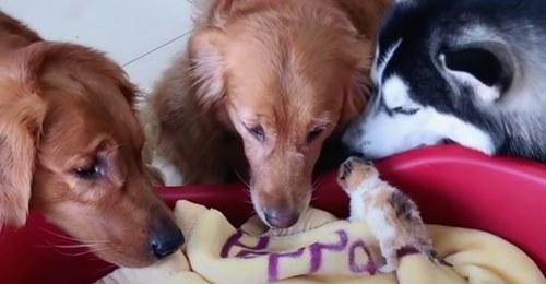 Tierische Fürsorge Drei Hunde kümmern sich rührend um Katzenbabys