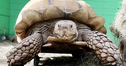 Im Gelsenkirchener ZooSchulterarthritis: Outdoor-Gehhilfe für 100 Kilo Schildkröte Helmuth