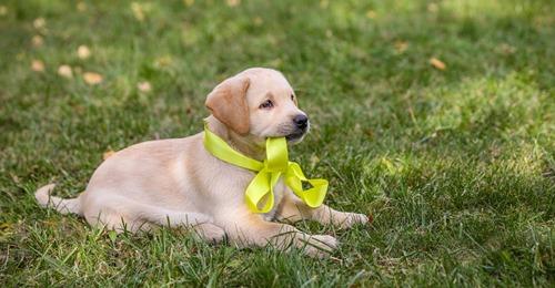 Hundebesitzer aufgepasst Diese Bedeutung hat eine gelbe Schleife am Hundehalsband