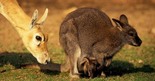 Zwei Tiere zudem verletztDrama im Stralsunder Zoo: Fuchs dringt in Gehege ein und reißt vier Kängurus