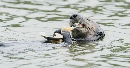ÖkosystemeOtter sorgen für Seegras-Sex